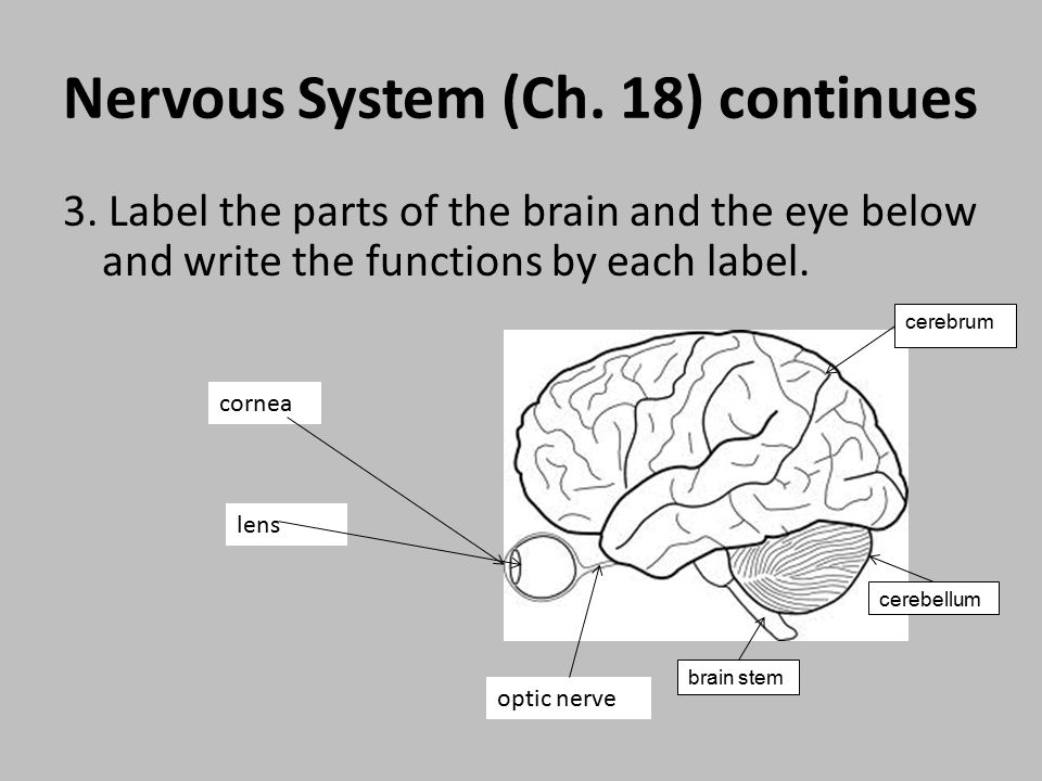 Fourth six week study guide review ppt video online download 4 nervous ccuart Image collections