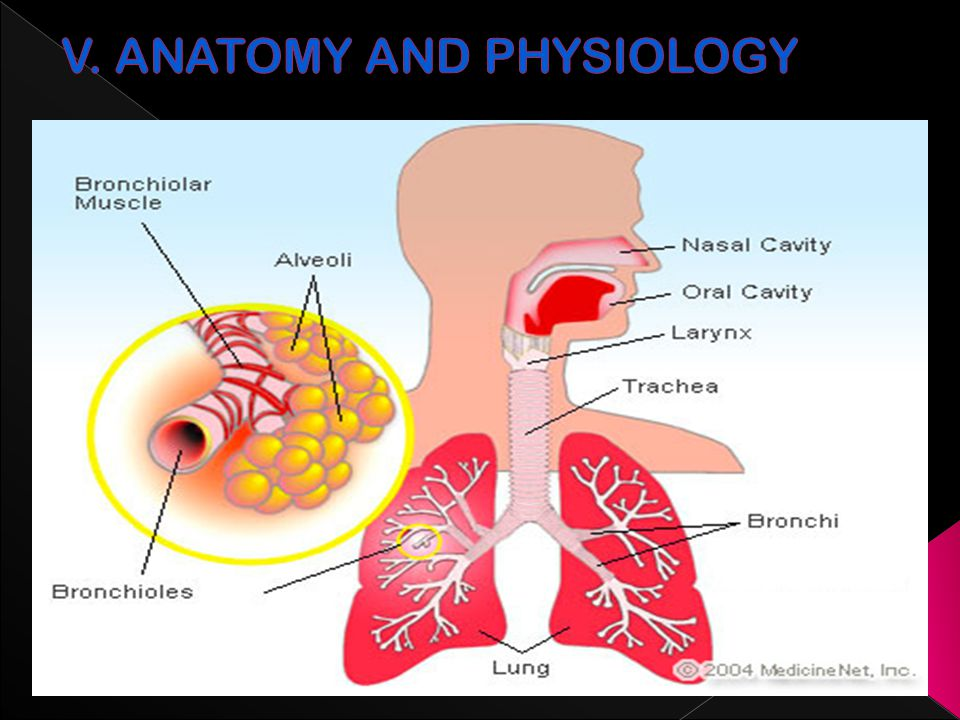 Old Fashioned Asthma Anatomy And Physiology Ensign Anatomy And