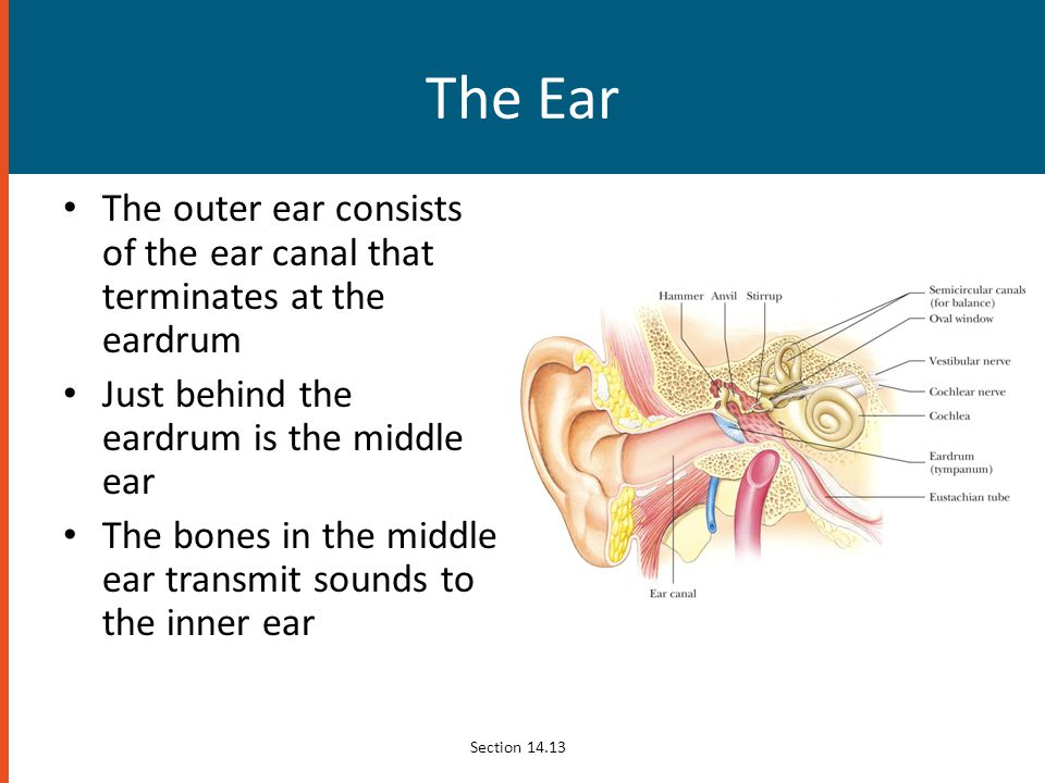 The Ear The outer ear consists of the ear canal that terminates at the eardrum. Just behind the eardrum is the middle ear.
