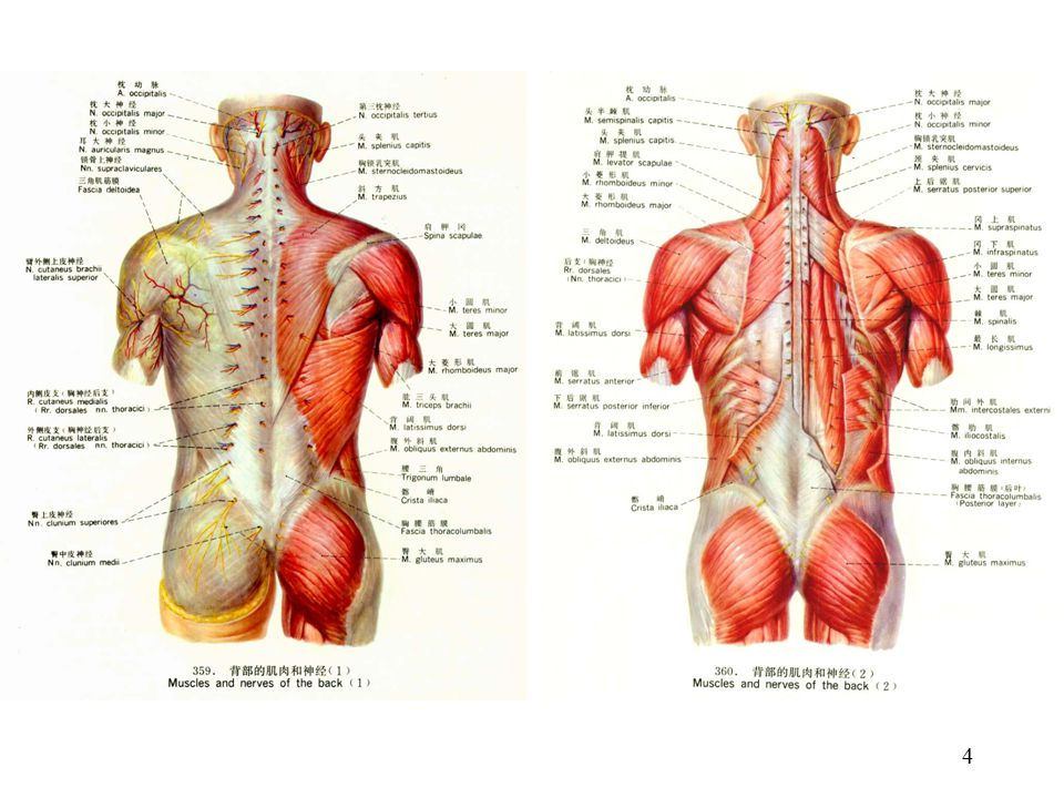 Classification of muscles of the trunk - ppt video online download