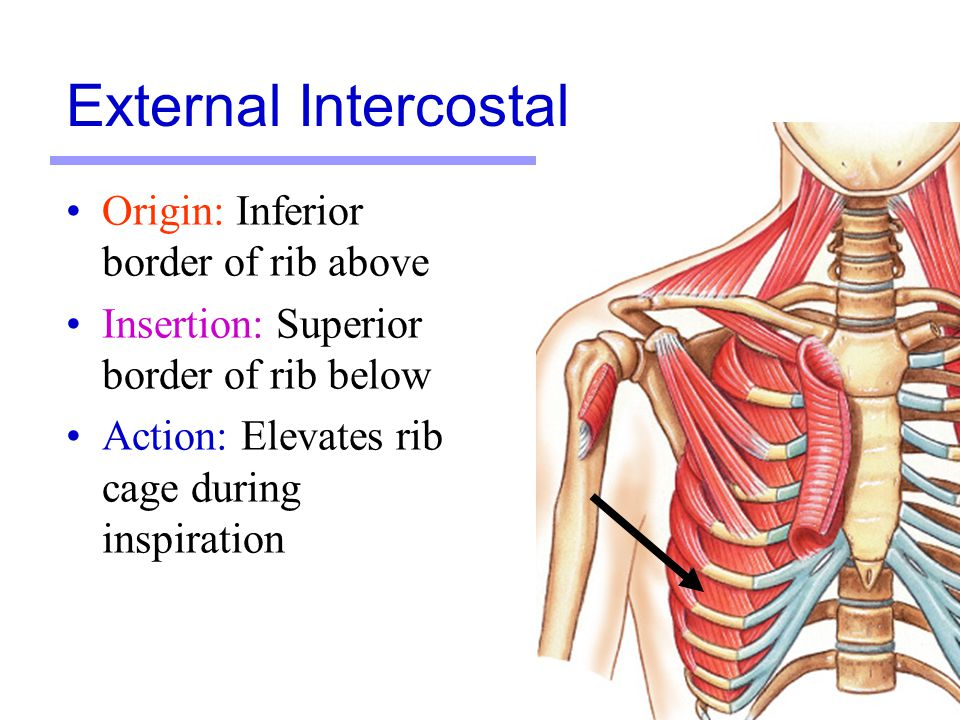 Muscles Martini Chapter ppt video online download