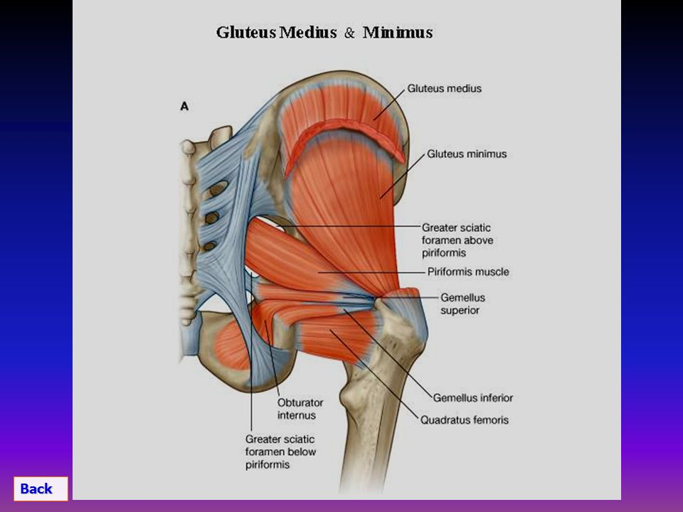 Muscles of Gluteal Region Arterial Supply Nerve Supply. - ppt video ...
