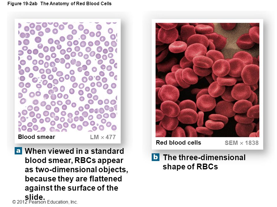 Dorable Anatomy Of Red Blood Cells Frieze - Anatomy And Physiology ...