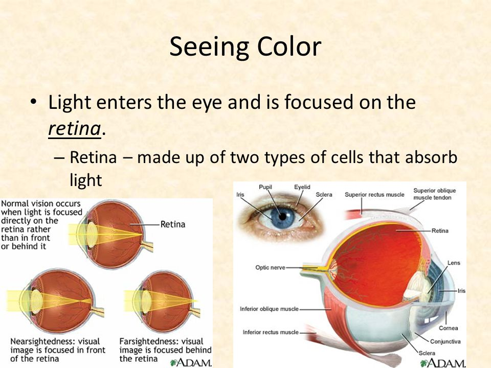 Seeing Color Light enters the eye and is focused on the retina.