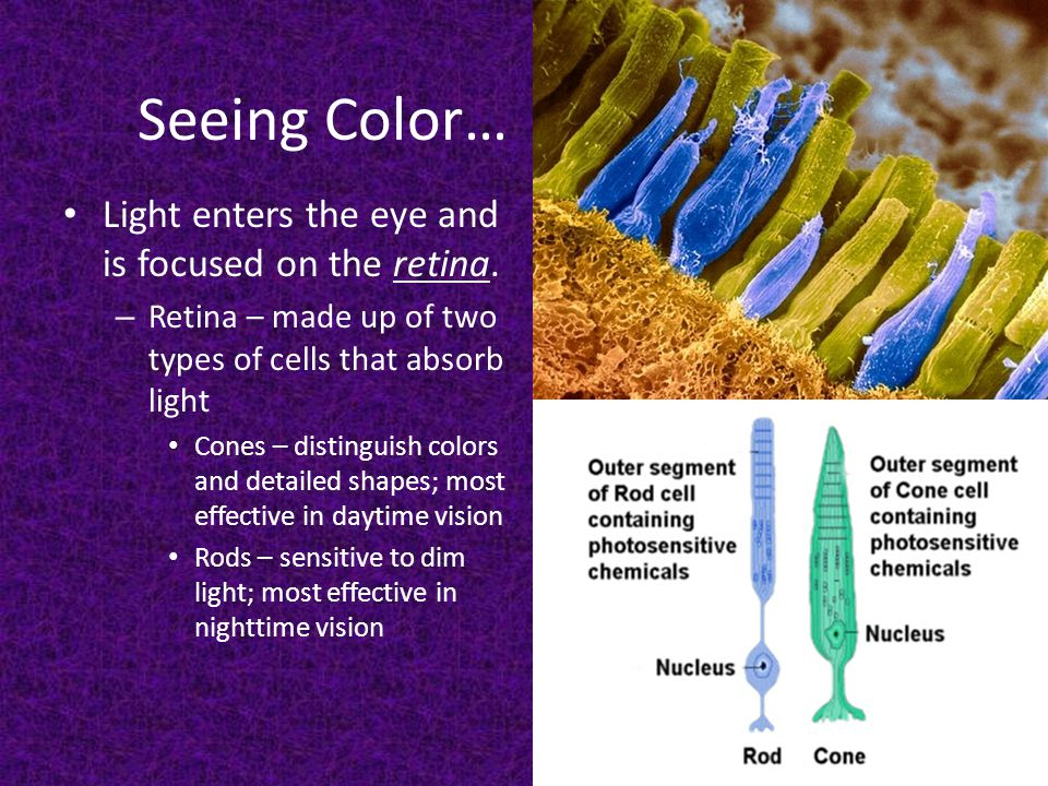 Seeing Color… Light enters the eye and is focused on the retina.