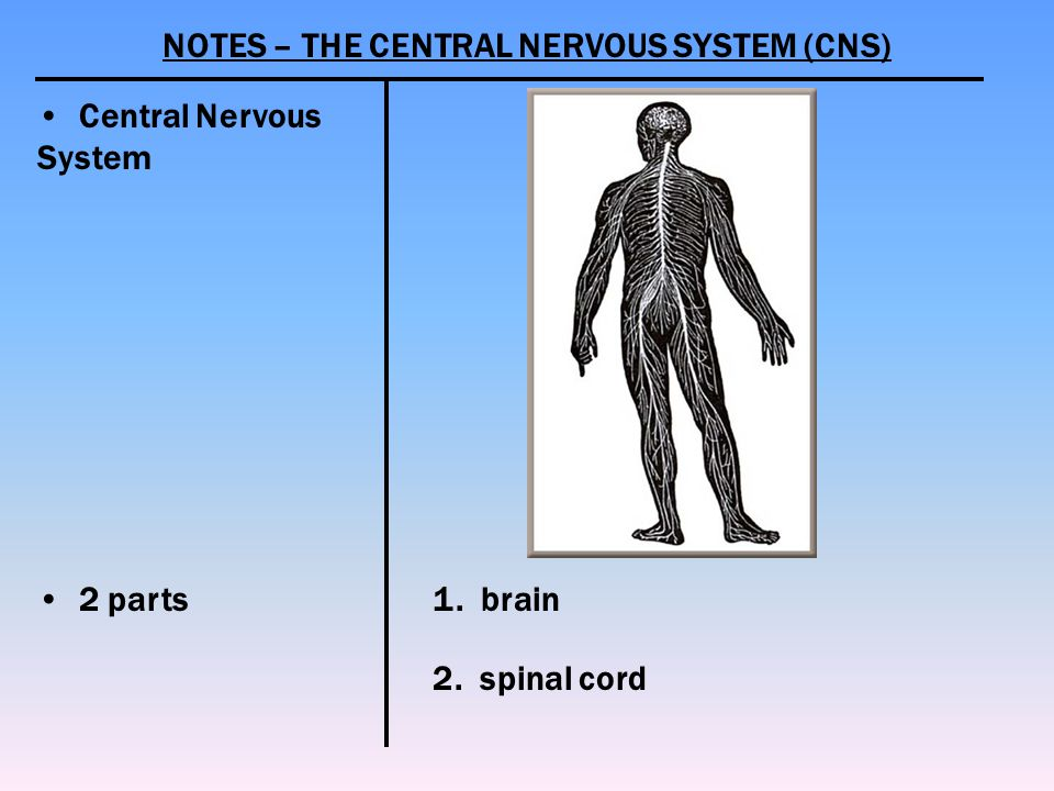 NOTES – THE CENTRAL NERVOUS SYSTEM (CNS)
