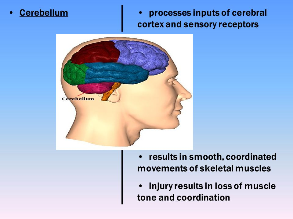 Cerebellum processes inputs of cerebral cortex and sensory receptors. results in smooth, coordinated movements of skeletal muscles.