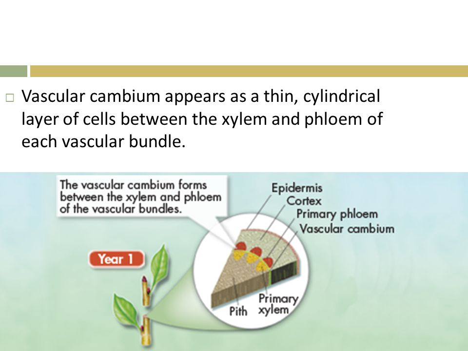 Vascular cambium appears as a thin, cylindrical layer of cells between the xylem and phloem of each vascular bundle.