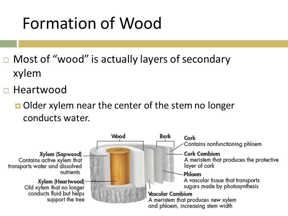 Formation of Wood Most of wood is actually layers of secondary xylem