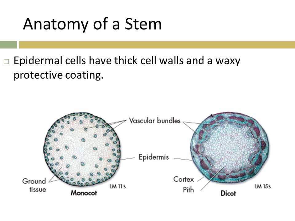 Anatomy of a Stem Epidermal cells have thick cell walls and a waxy protective coating.