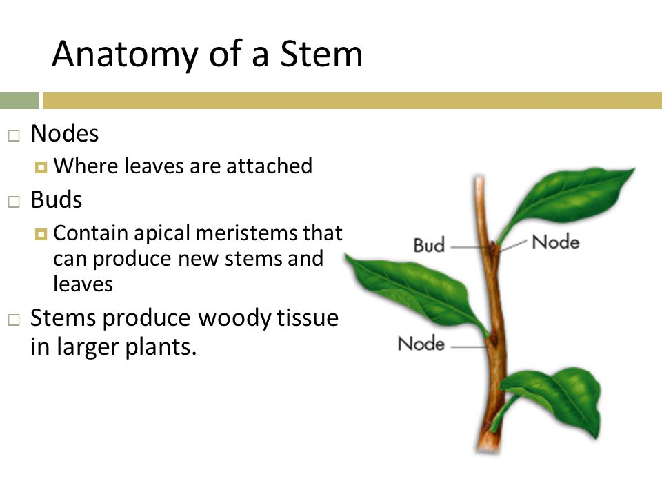 Anatomy of a Stem Nodes Buds