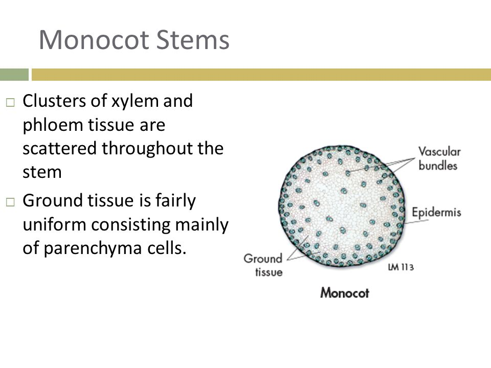 Monocot Stems Clusters of xylem and phloem tissue are scattered throughout the stem.