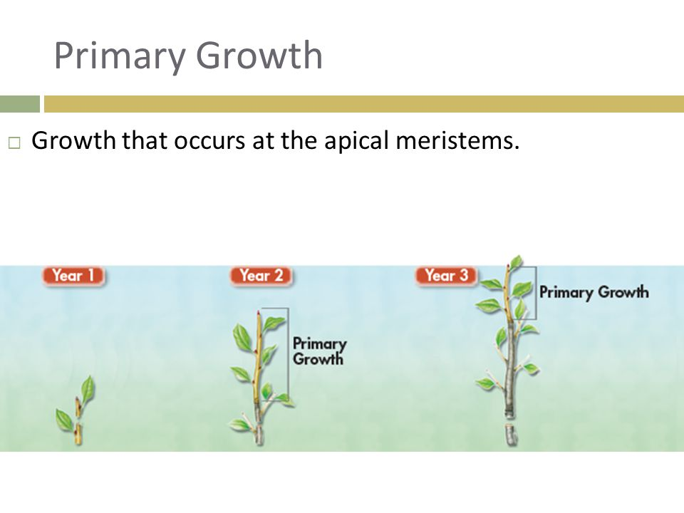 Primary Growth Growth that occurs at the apical meristems.