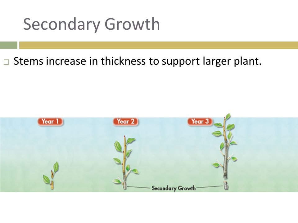 Secondary Growth Stems increase in thickness to support larger plant.