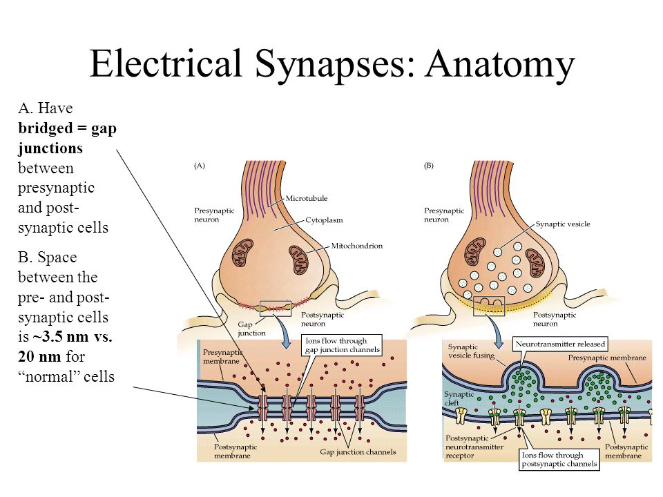 Chemical and Electrical Synapses - ppt video online download