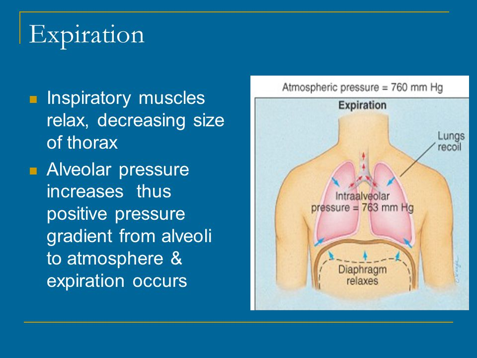 Expiration Inspiratory muscles relax, decreasing size of thorax