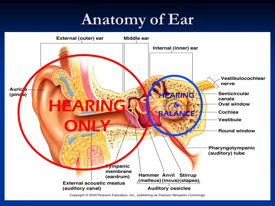 Special Senses: Hearing, Taste, Smell - ppt video online download