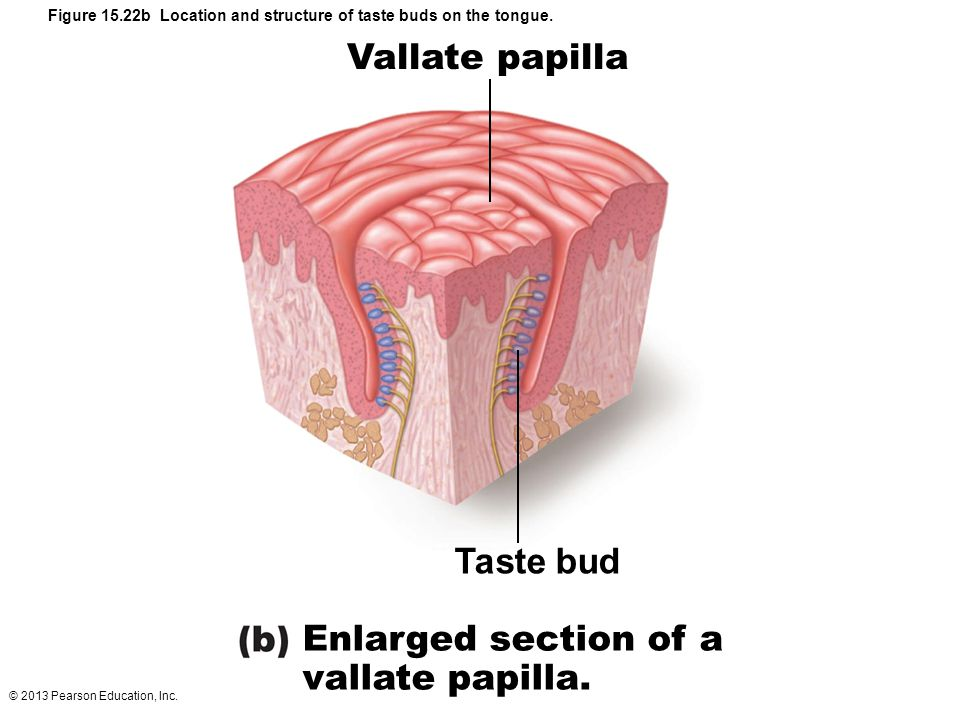 Smell Taste And Hearing Ppt Video Online Download