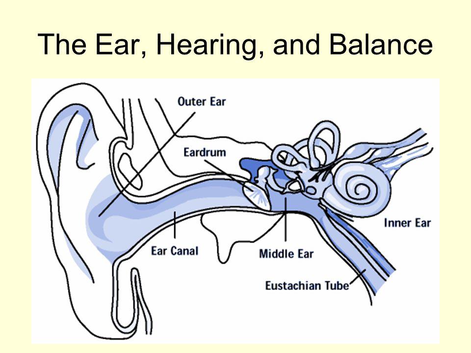 The Ear Hearing And Balance Worksheet - Kidz Activities