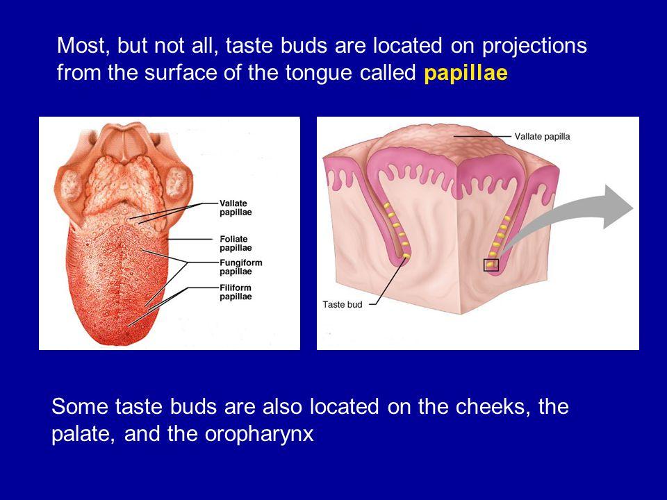 Colorful Anatomy Of Taste Buds Embellishment Anatomy And