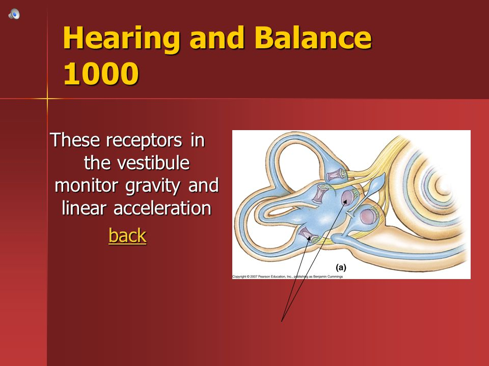 Hearing and Balance 1000 These receptors in the vestibule monitor gravity and linear acceleration.