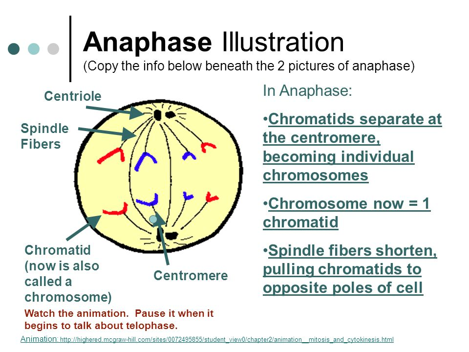 The cell cycle and mitosis ppt video online download 15 anaphase illustration ccuart Choice Image