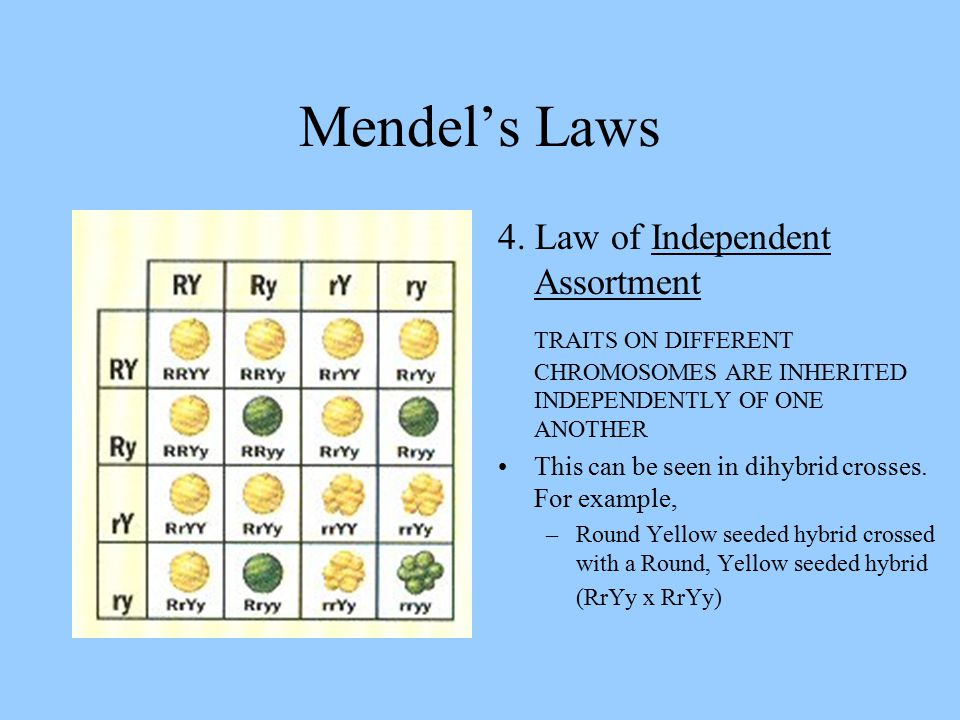 Mendel's Laws 4. Law of Independent Assortment