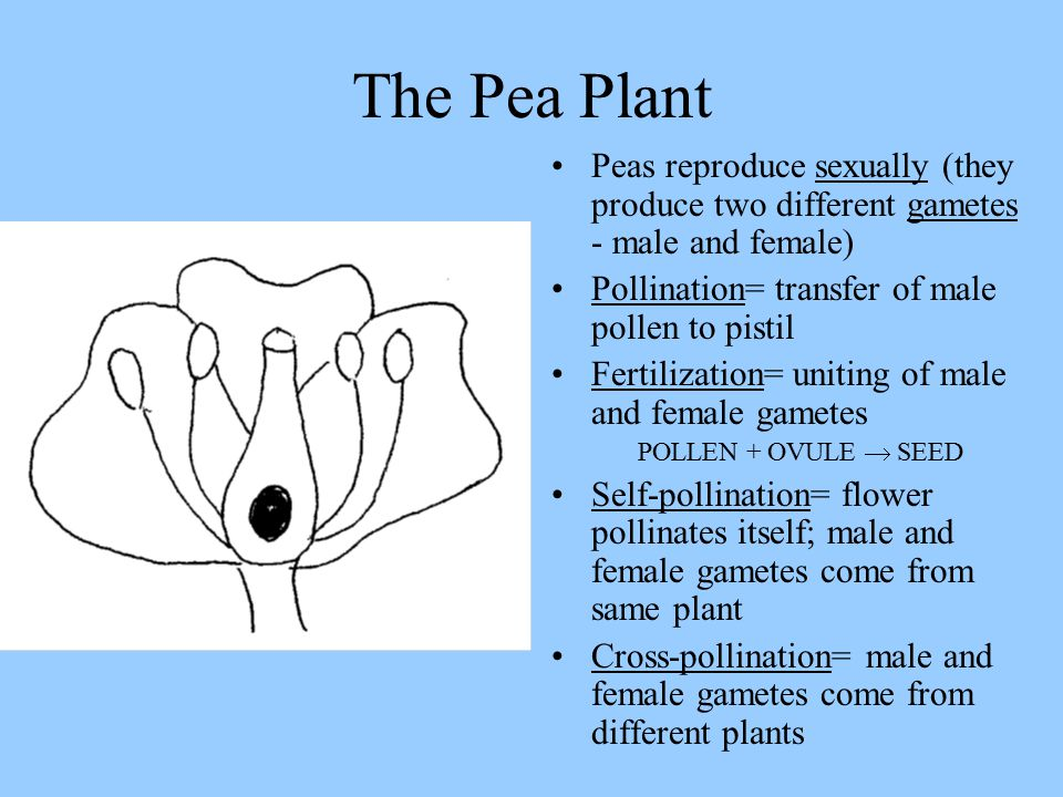 The Pea Plant Peas reproduce sexually (they produce two different gametes - male and female) Pollination= transfer of male pollen to pistil.
