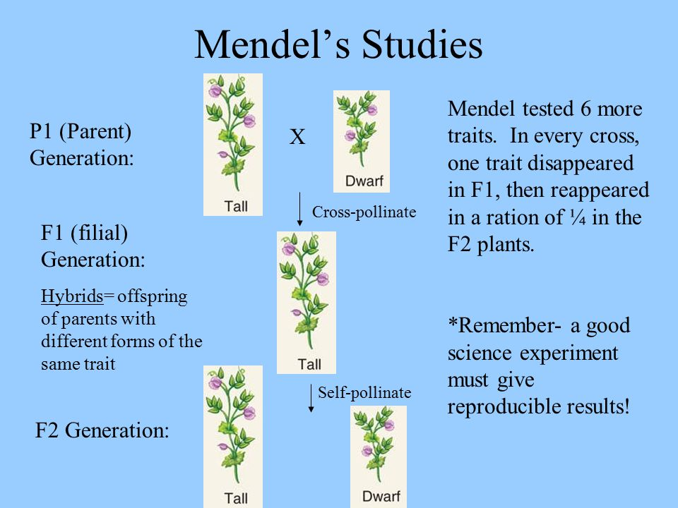 Mendel's Studies Mendel tested 6 more traits. In every cross, one trait disappeared in F1, then reappeared in a ration of ¼ in the F2 plants.