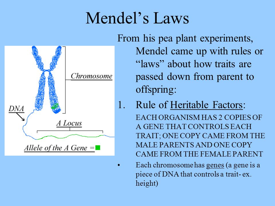 Mendel's Laws From his pea plant experiments, Mendel came up with rules or laws about how traits are passed down from parent to offspring: