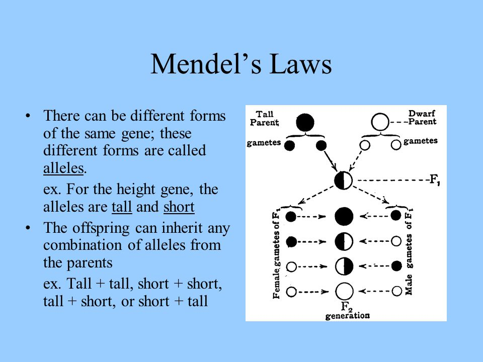 Mendel's Laws There can be different forms of the same gene; these different forms are called alleles.