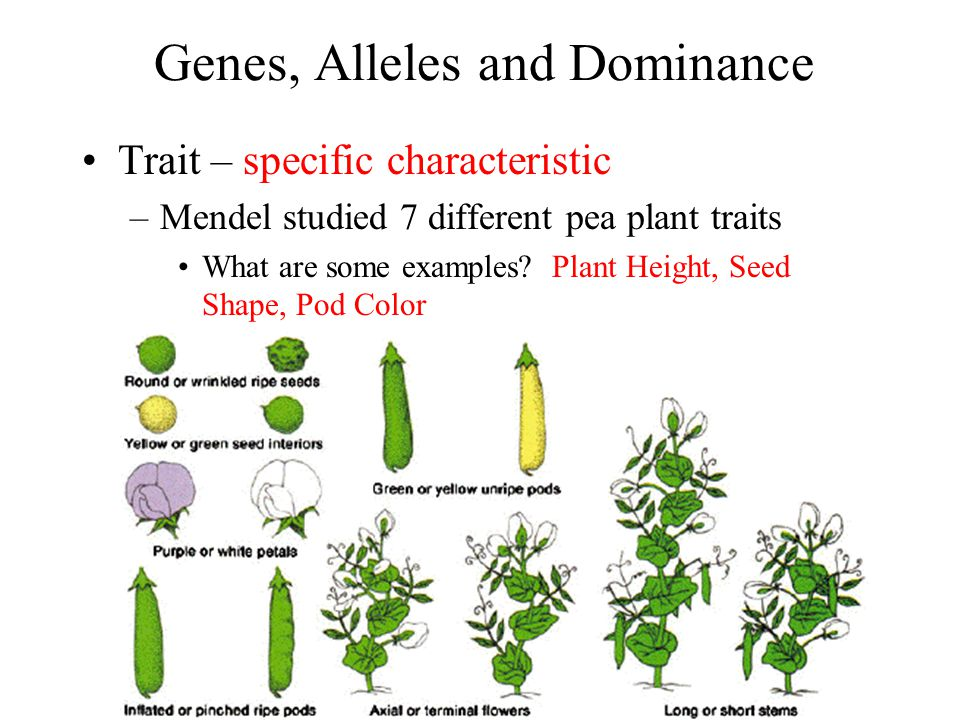 Genes, Alleles and Dominance