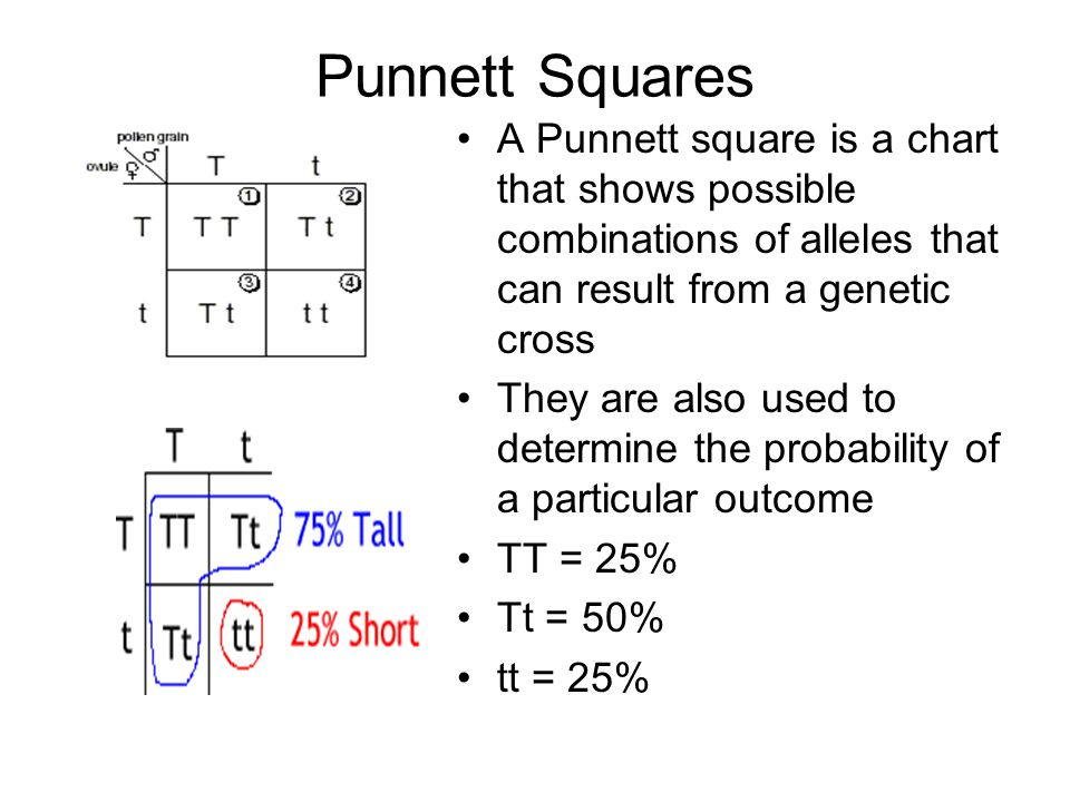 Punnett Squares A Punnett square is a chart that shows possible combinations of alleles that can result from a genetic cross.