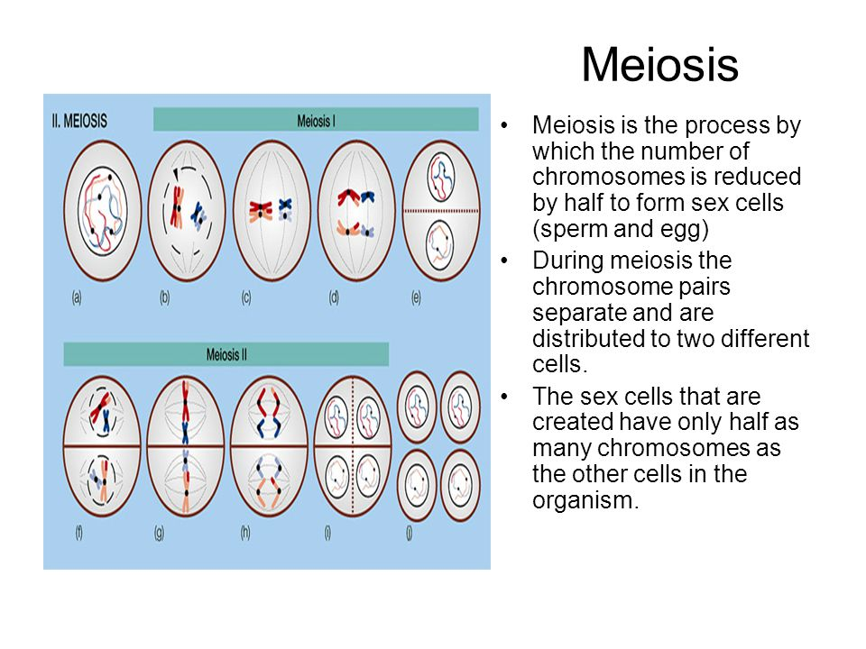 Meiosis Meiosis is the process by which the number of chromosomes is reduced by half to form sex cells (sperm and egg)