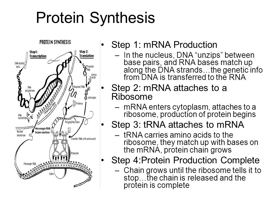 Protein Synthesis Step 1: mRNA Production