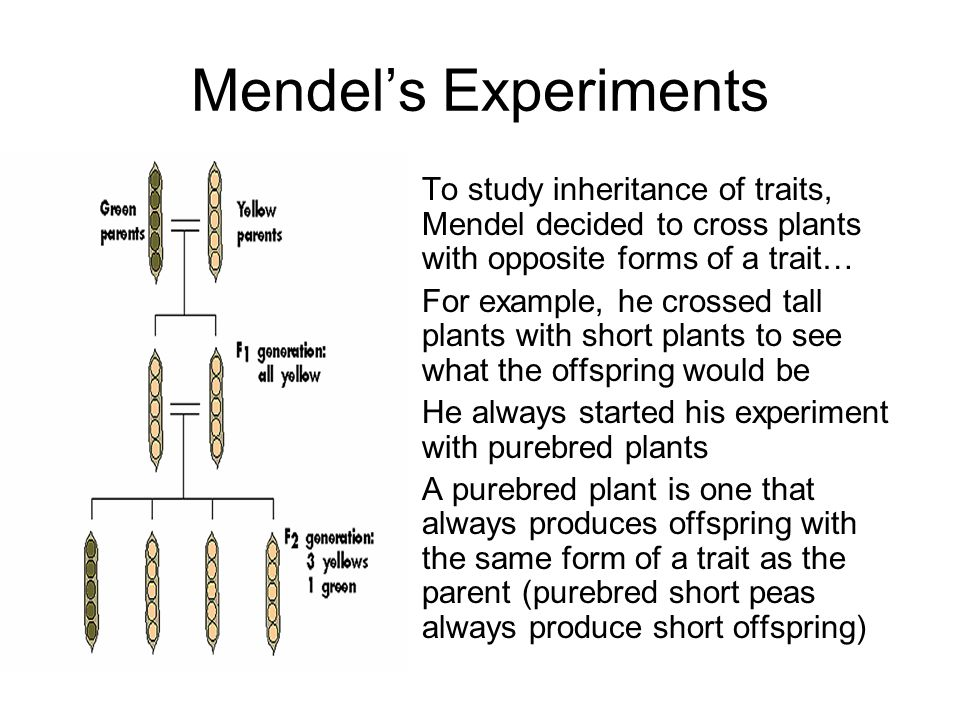 Mendel's Experiments To study inheritance of traits, Mendel decided to cross plants with opposite forms of a trait…