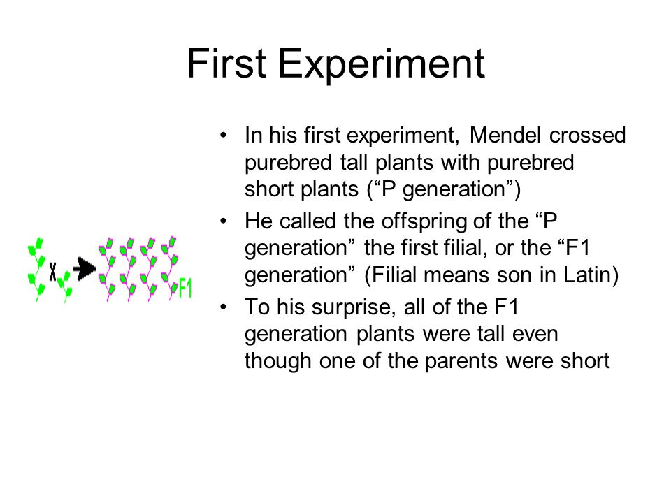 First Experiment In his first experiment, Mendel crossed purebred tall plants with purebred short plants ( P generation )