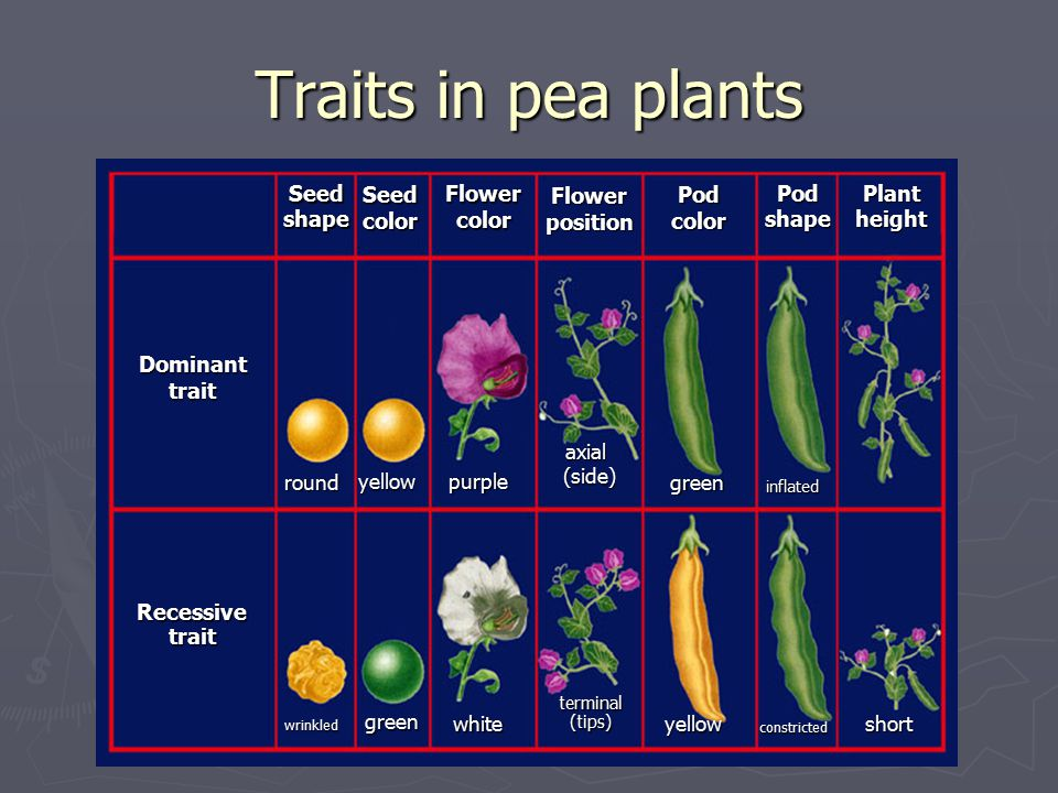 Traits in pea plants Recessive trait Dominant Seed shape color Flower