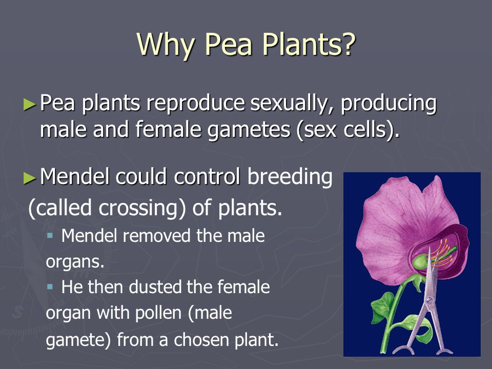 Why Pea Plants Pea plants reproduce sexually, producing male and female gametes (sex cells). Mendel could control breeding.