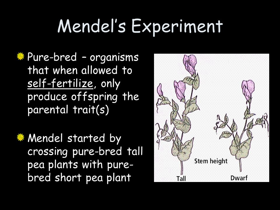 Mendel's Experiment Pure-bred – organisms that when allowed to self-fertilize, only produce offspring the parental trait(s)