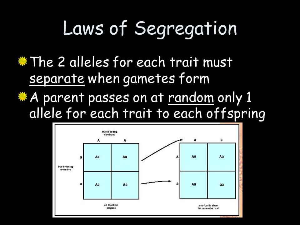 Laws of Segregation The 2 alleles for each trait must separate when gametes form.
