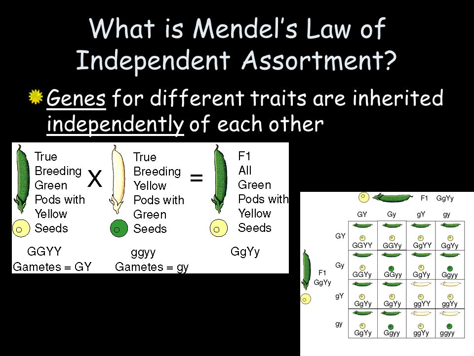What is Mendel's Law of Independent Assortment
