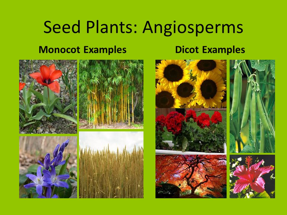 What are some examples of monocot and dicot leaves and how are.