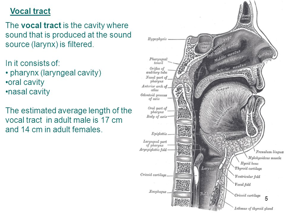 The Human Voice I Speech Production 1 The Vocal Organs Ppt