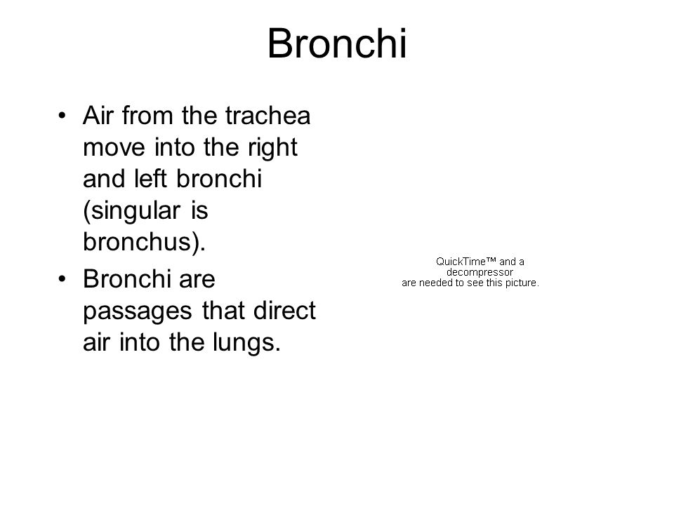 Bronchi Air from the trachea move into the right and left bronchi (singular is bronchus).