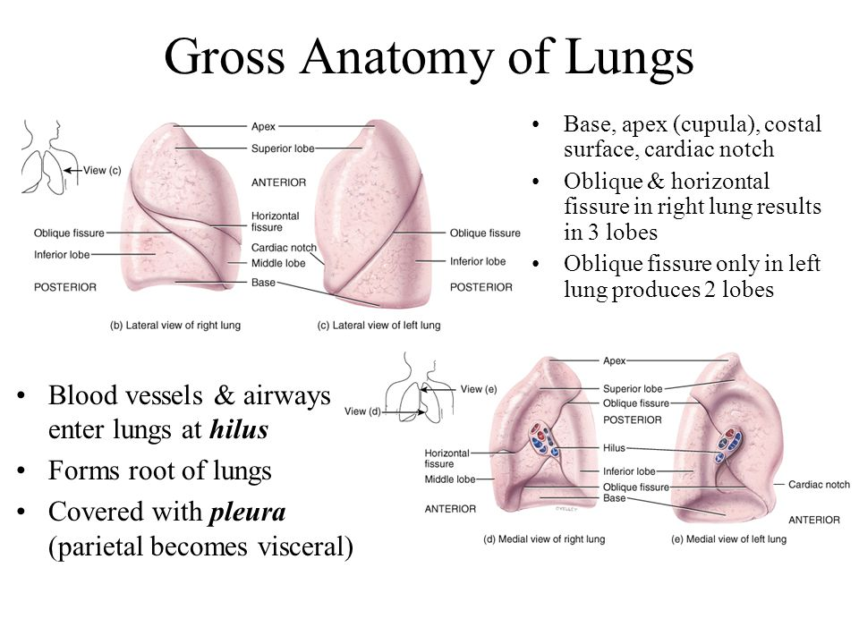 Funky Lung Gross Anatomy Pattern - Anatomy And Physiology Biology ...
