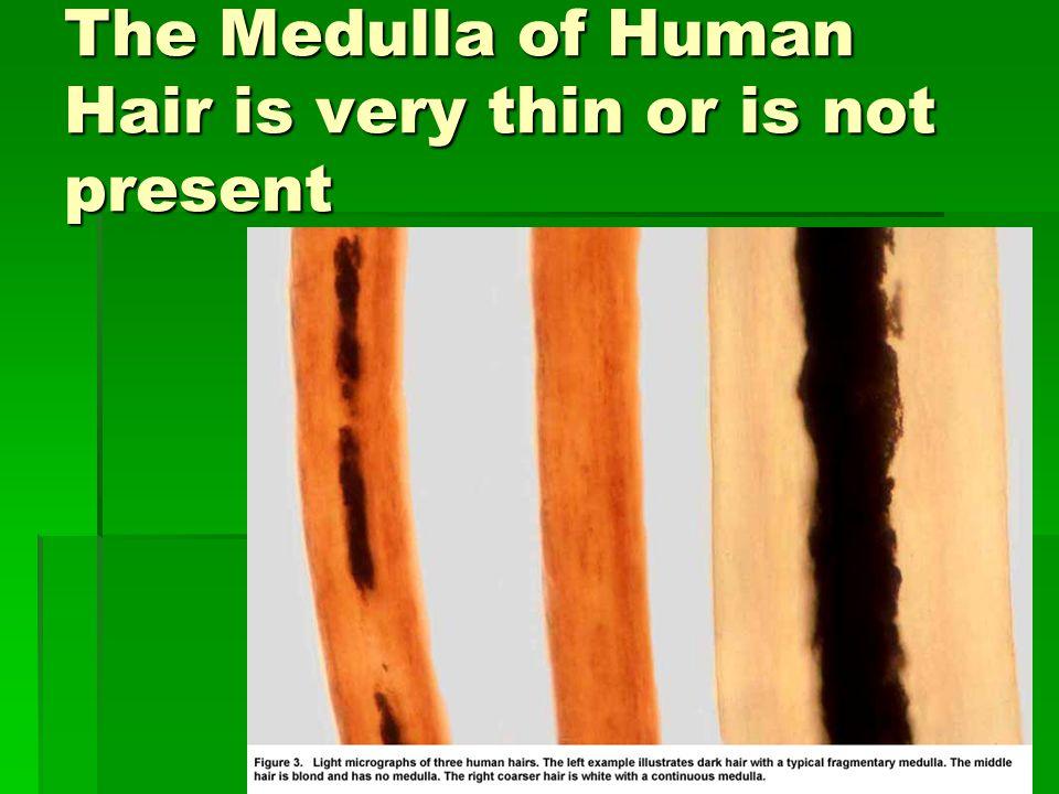 human hair medulla