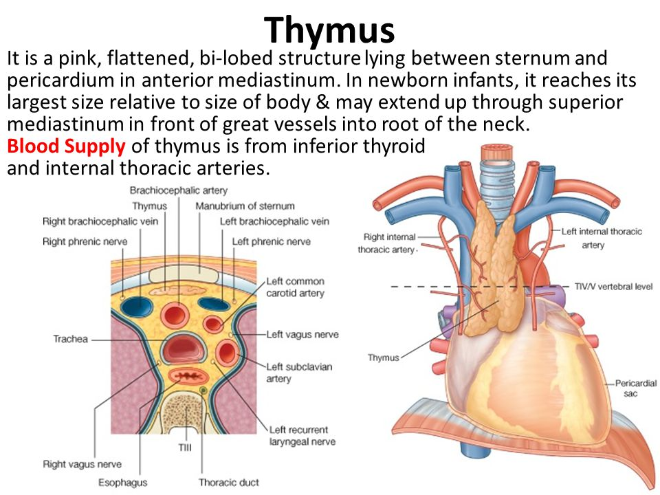 Thymus, Trachea & Oesophagus - ppt video online download