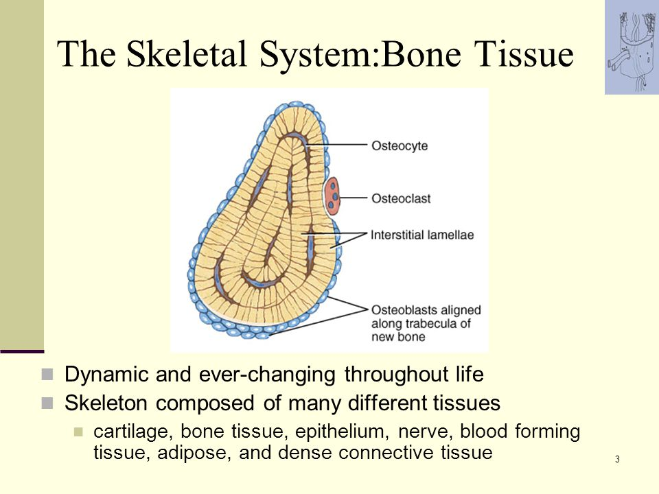 The Skeletal System Bone Tissue Lecture Outline Ppt Video Online
