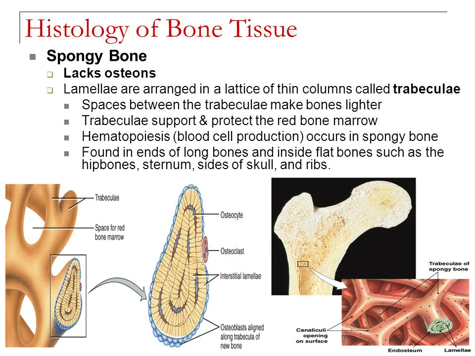 The Skeletal System: Bone Tissue Chapter 6 - ppt video online download
